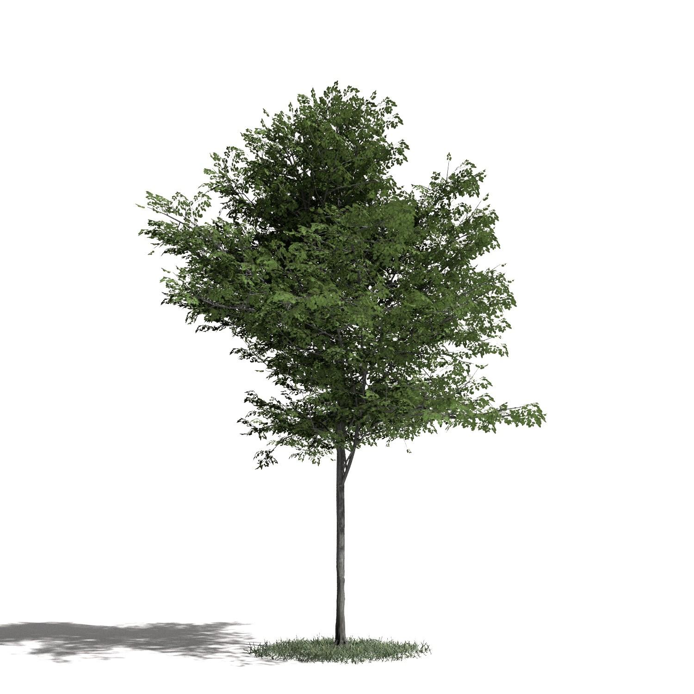 Tree 41 AM1 for Blender Archmodels