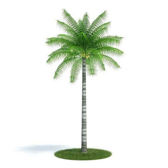 Cocos nucifera Plant 36 AM61 Archmodels