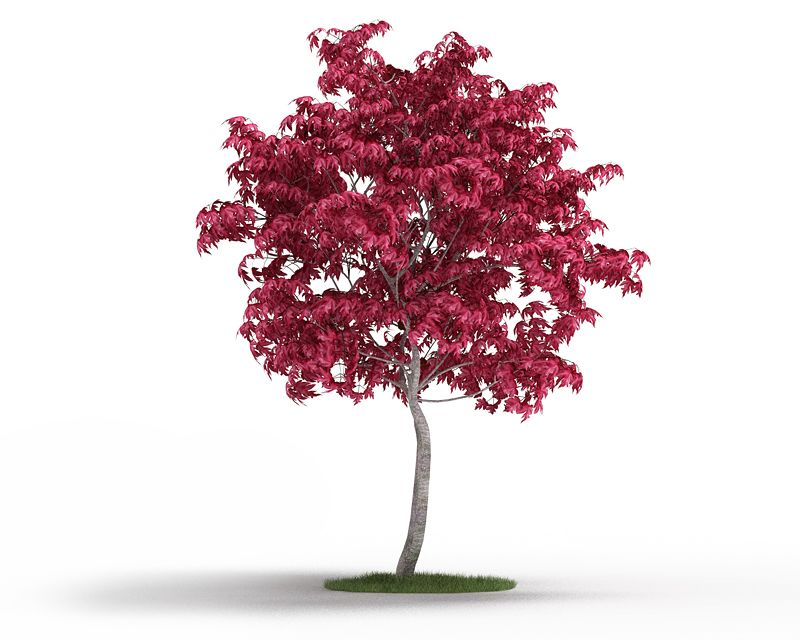 Acer japonicum 38 AM3 for Cinema4D Archmodels