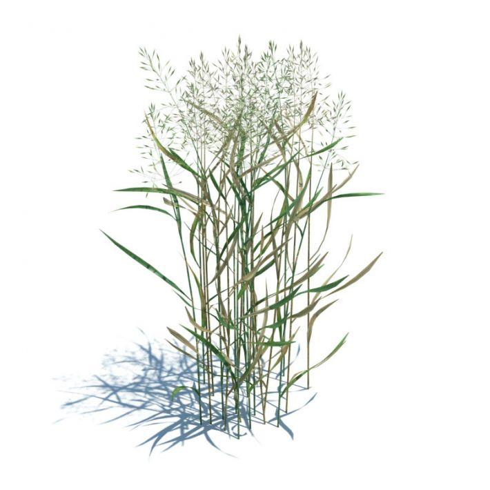 Agrostis capillaris 54 AM124 Archmodels