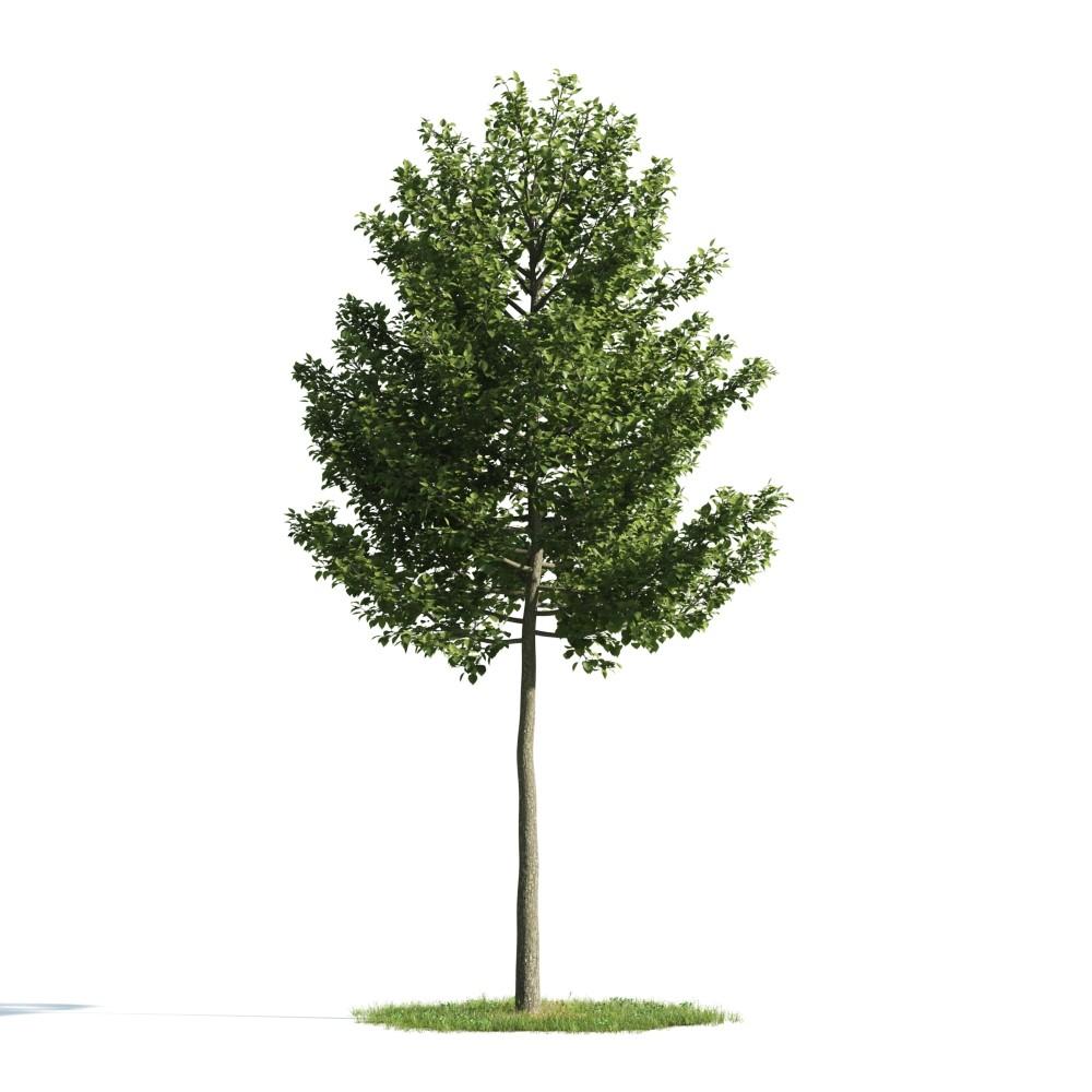 Tree 54 AM176 Archmodels