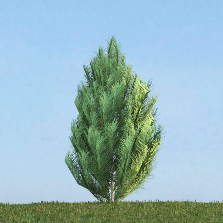 Pinus 38 AM113 Archmodels