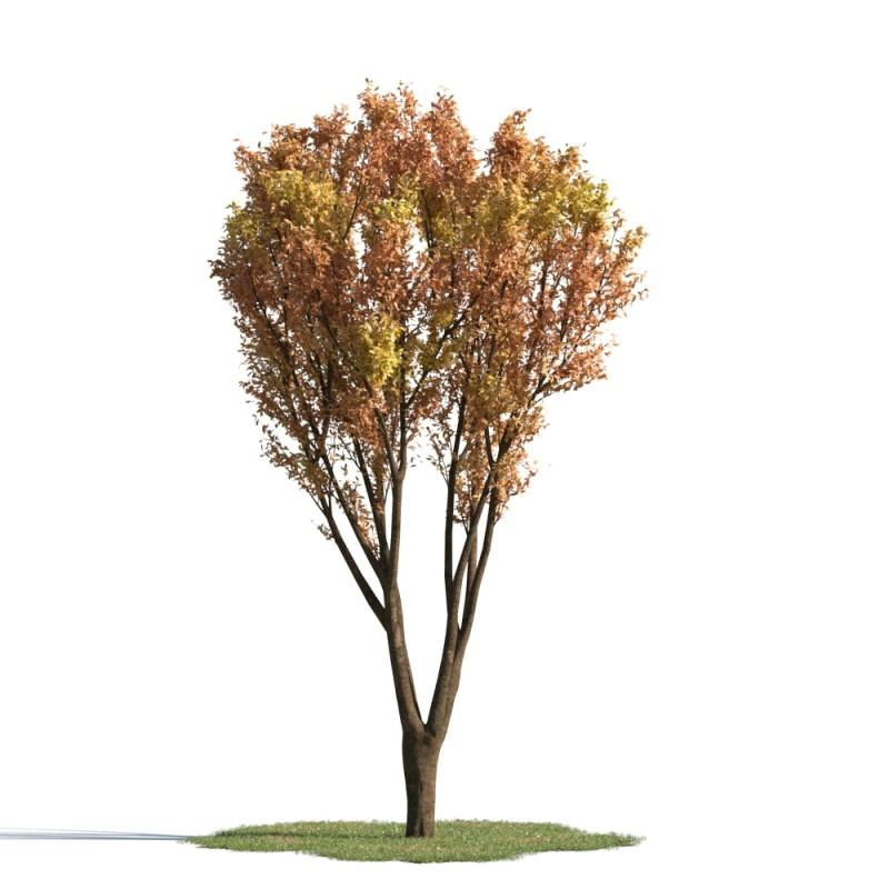 tree 60 AMC1