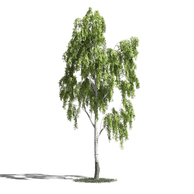Tree 18 amb1