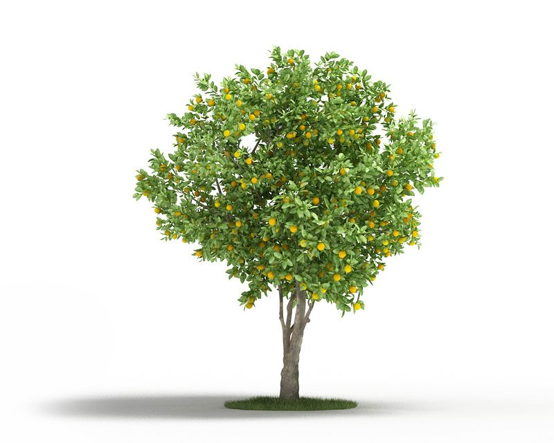 Citrus sinensis Plant 61 AM3 for Cinema4D Archmodels