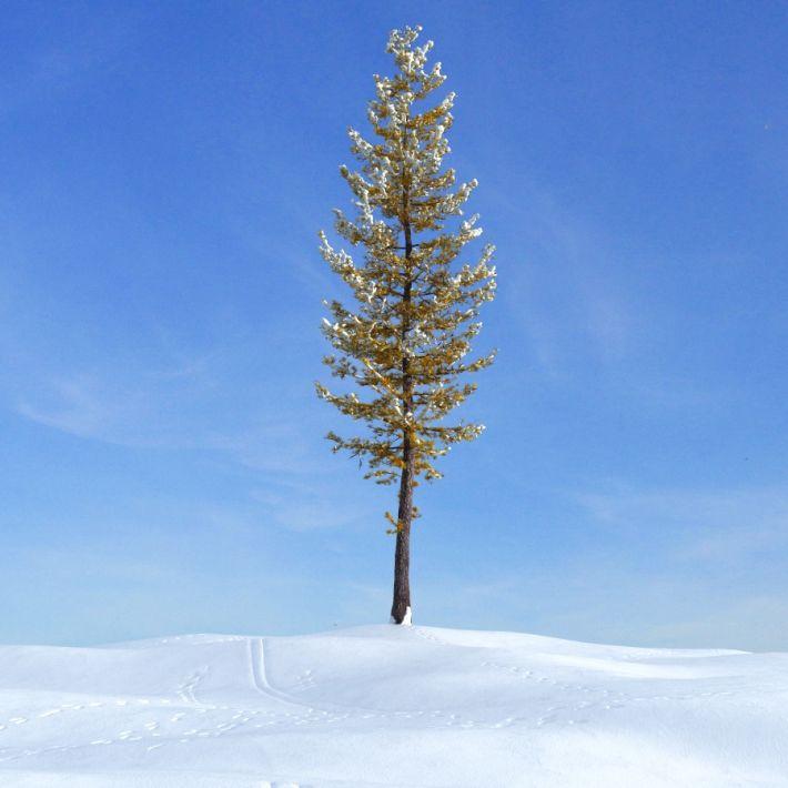 larch tree 037 am100