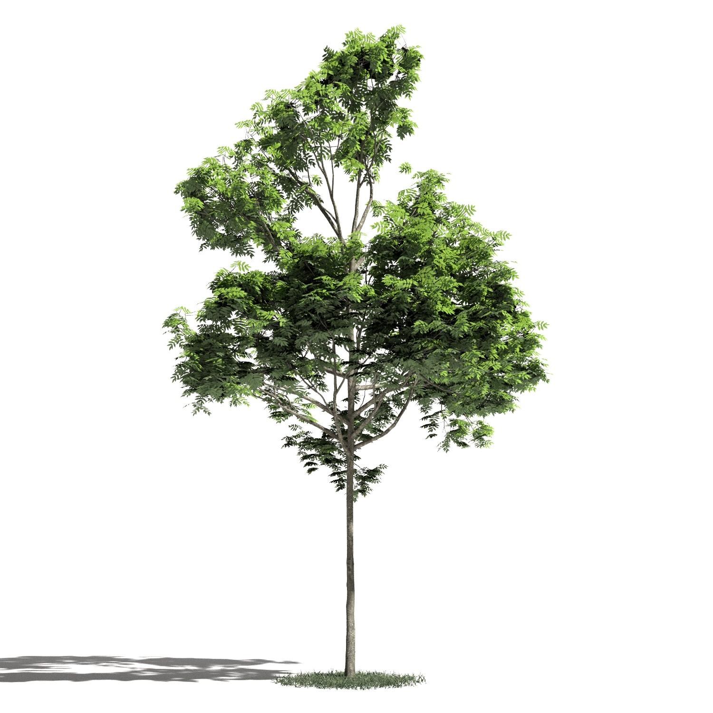 Tree 38 amb1