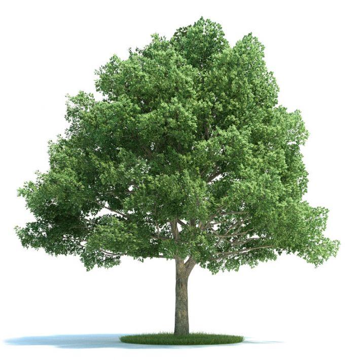 Quercus Plant 14 AM58 Archmodels