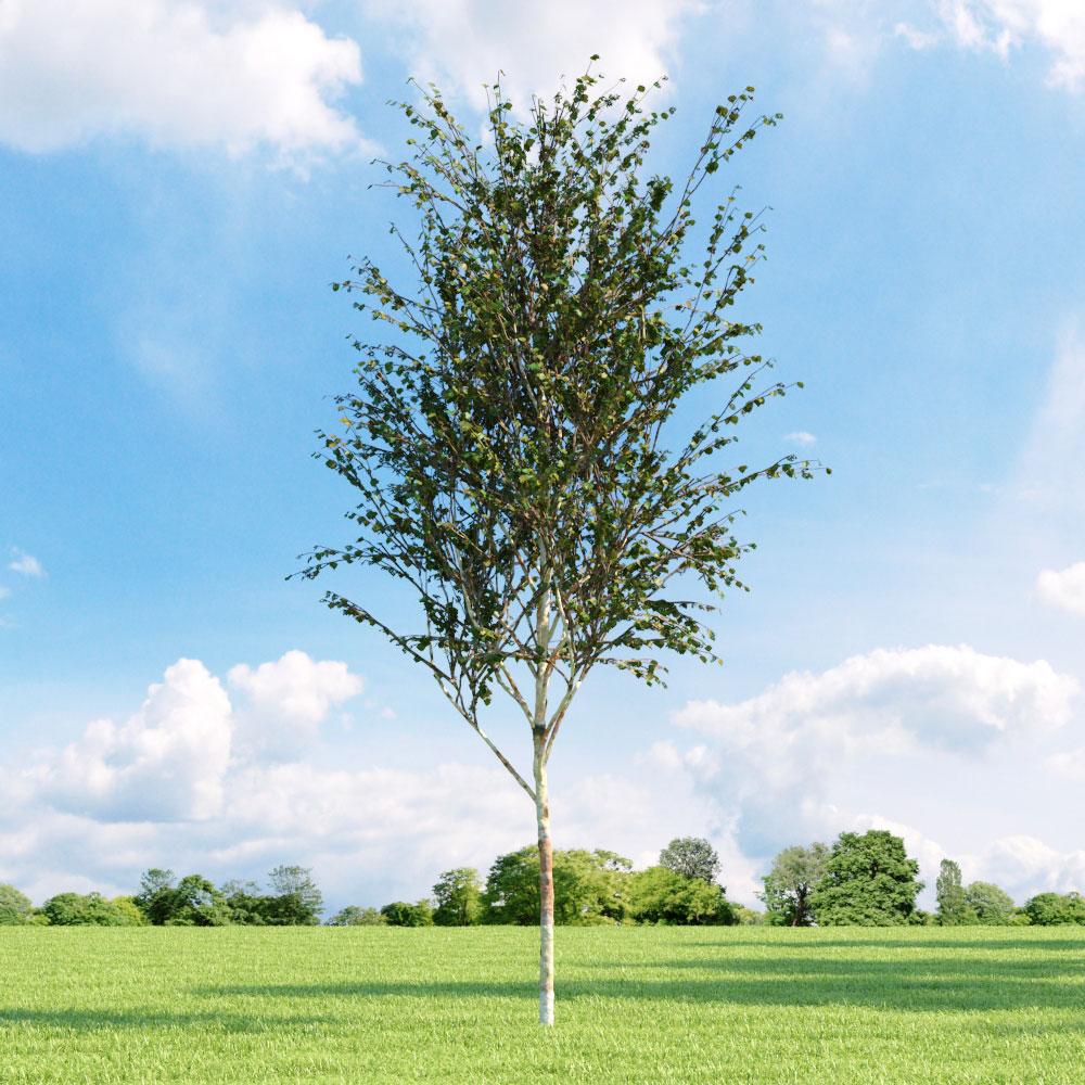 Betula albosinensis 'Fascination' 025_v1 AM136
