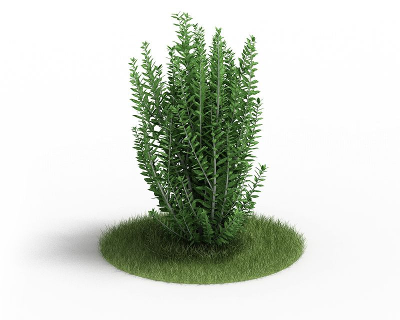 Ligustrum ovalifolium 34 AM3 for Cinema4D Archmodels