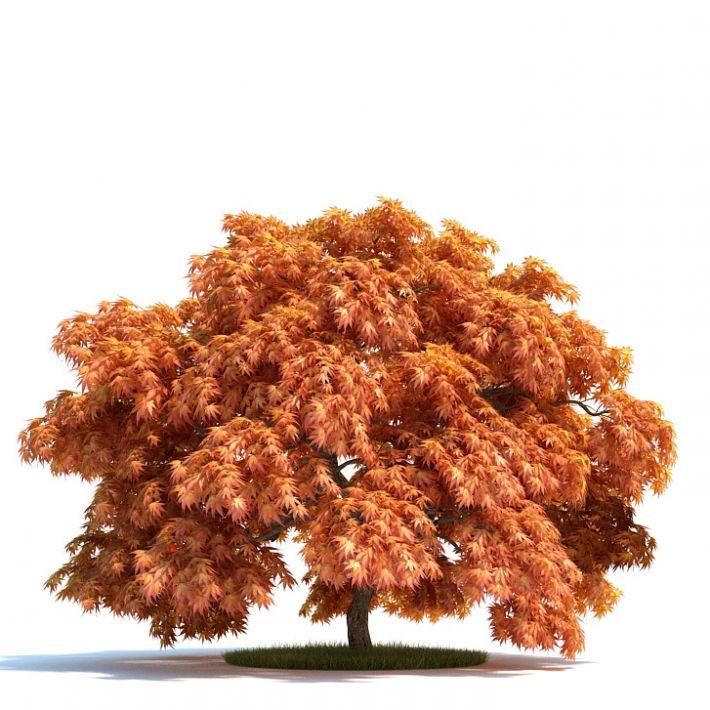 Acer japonicum Plant 55 AM58 Archmodels