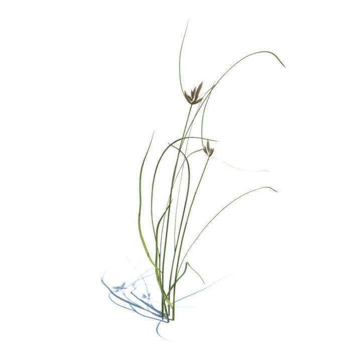 Bolboschoenus maritimus 112 AM124 Archmodels