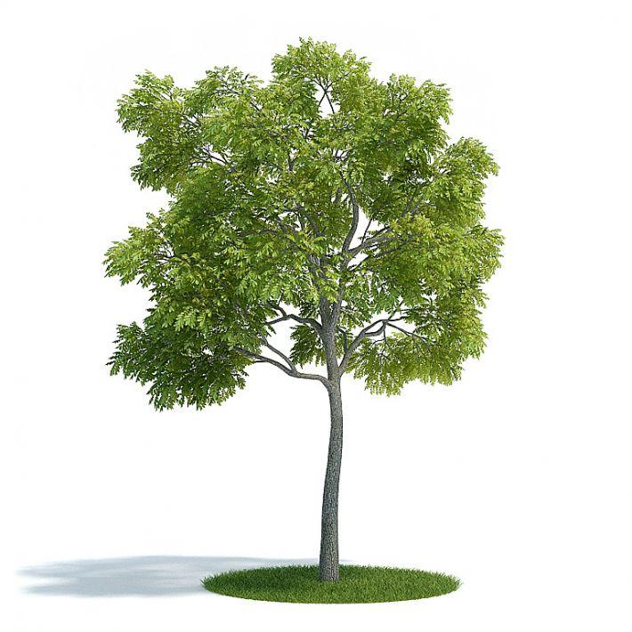 Juglans nigra Plant 14 AM61