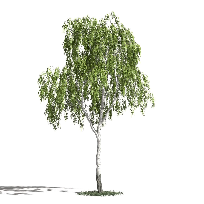 Tree 16 amb1