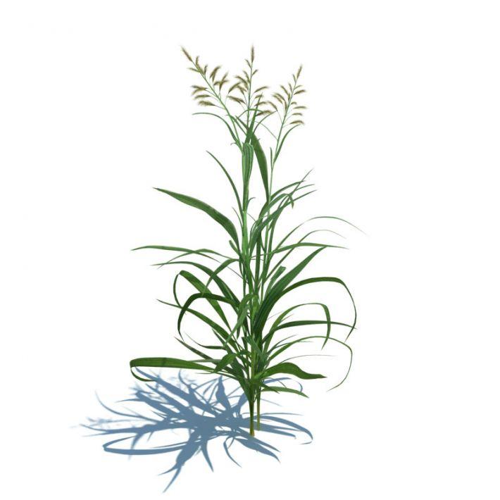 Phalaris arundinacea 19 AM124 Archmodels