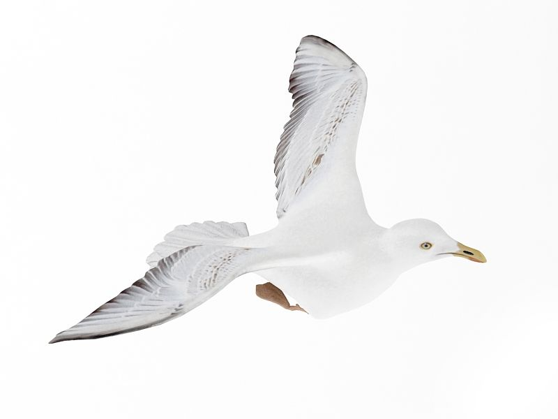 seagull 16 am83