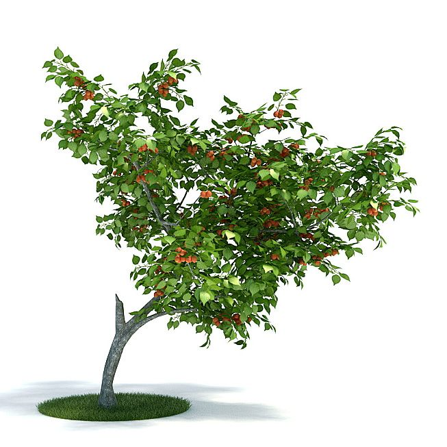 Prunus armeniaca Plant 37 AM61 Archmodels
