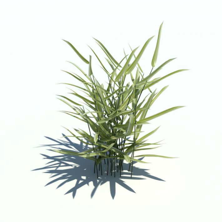 Phalaris arundinacea 075 am126