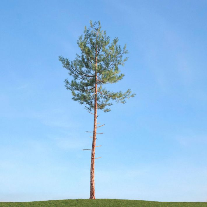 Pine 18 AM113 Archmodels