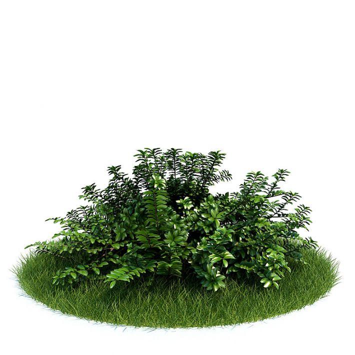 Lonicera pileata Plant 32 AM61 Archmodels