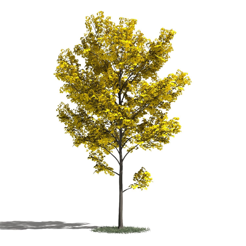 Tree 30 amb1
