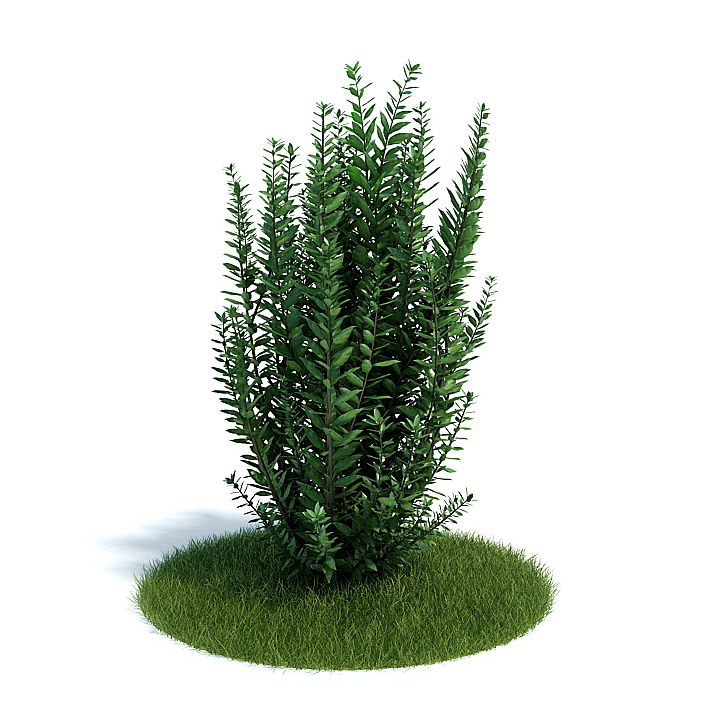 Ligustrum ovalifolium Plant 34 AM61 Archmodels