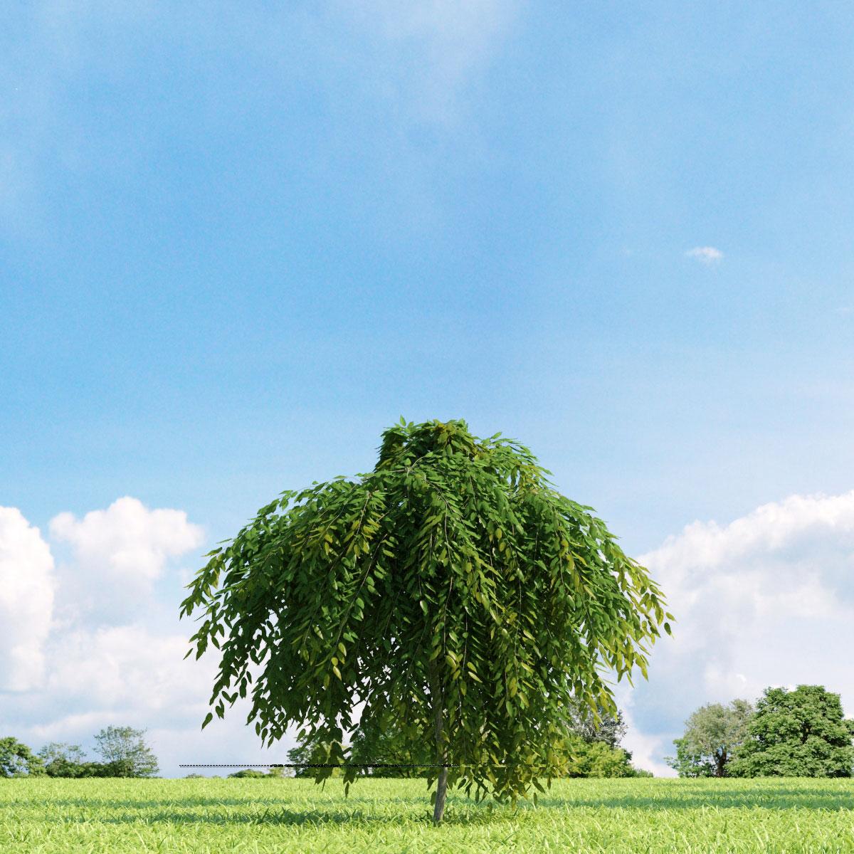 Salix repens var. nitida 22 v1 AM136 Archmodels