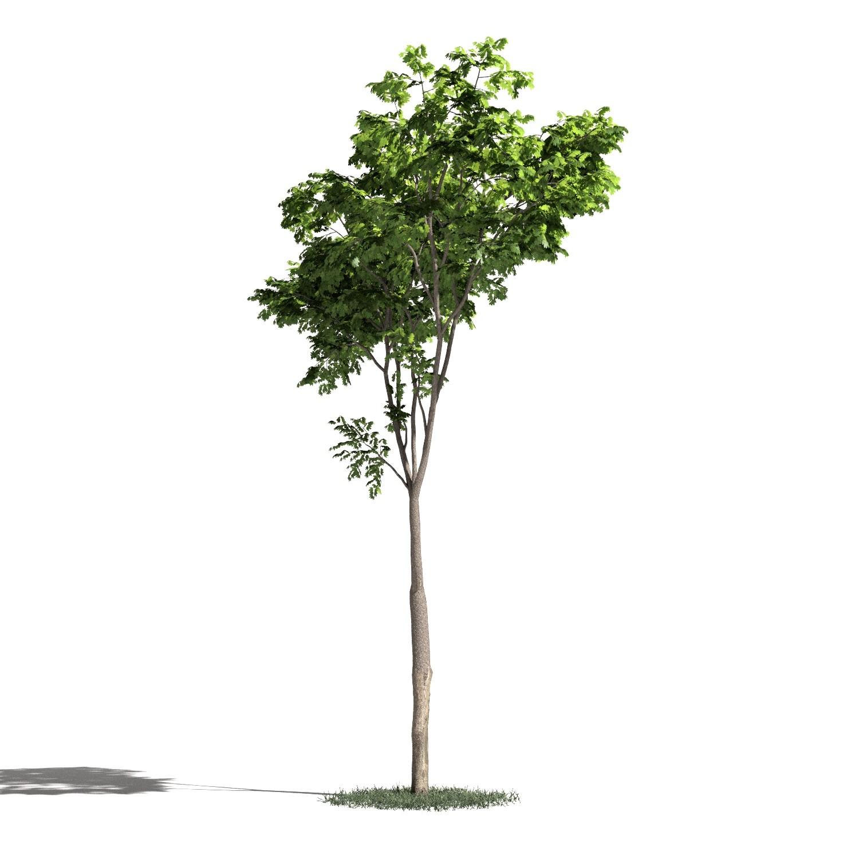 Tree 20 amb1