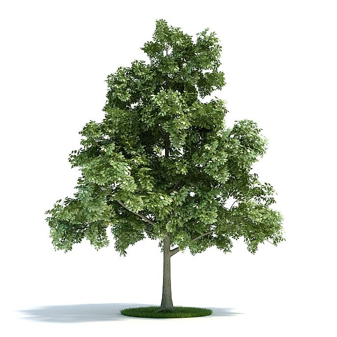 Quercus petraea Plant 39 AM61 Archmodels