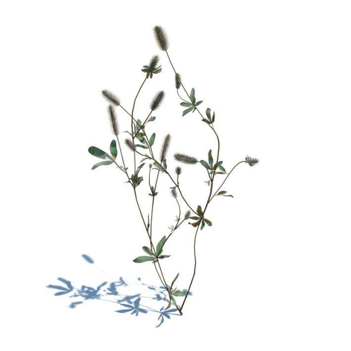 Trifolium arvense 43 AM126 Archmodels