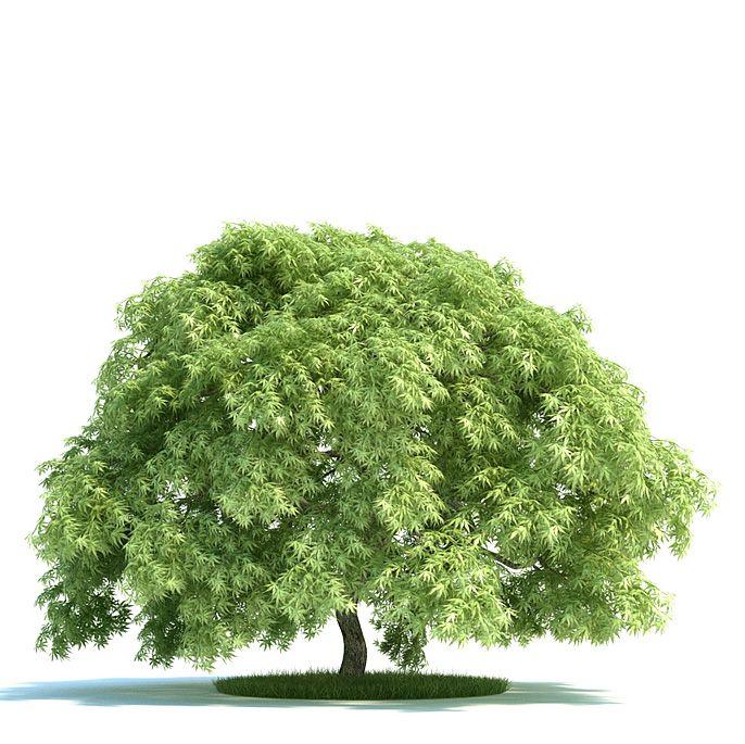 Acer palmatum Plant 56 AM58 Archmodels