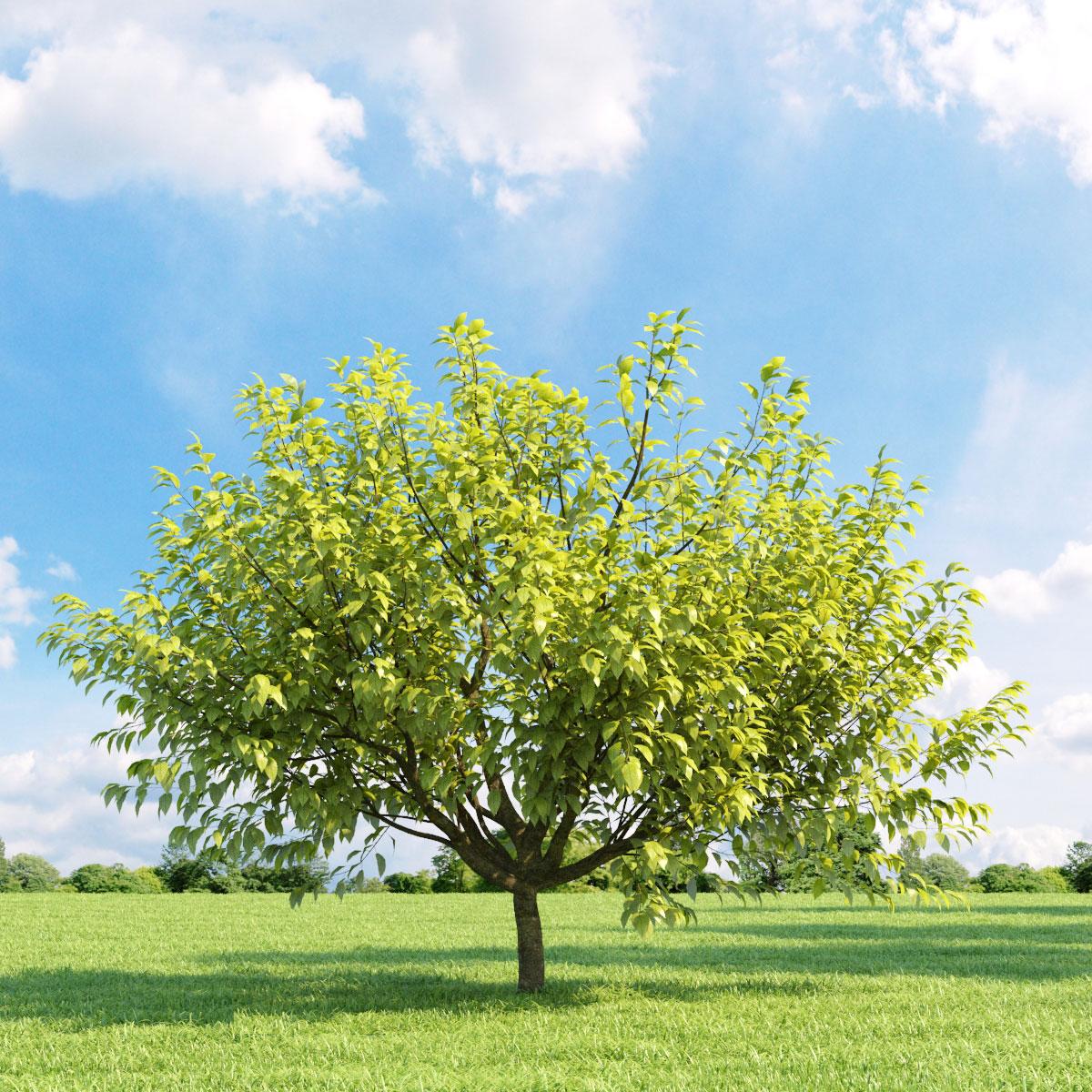 Prunus padus aurea 18 v3 AM136 Archmodels
