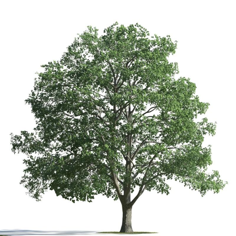 tree 31 AMC01