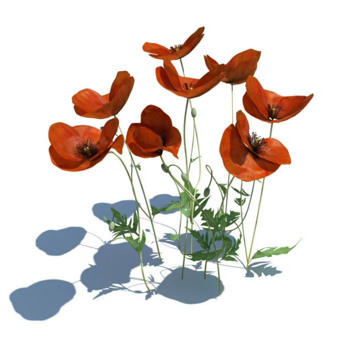 Papaver rhoeas 099 am124