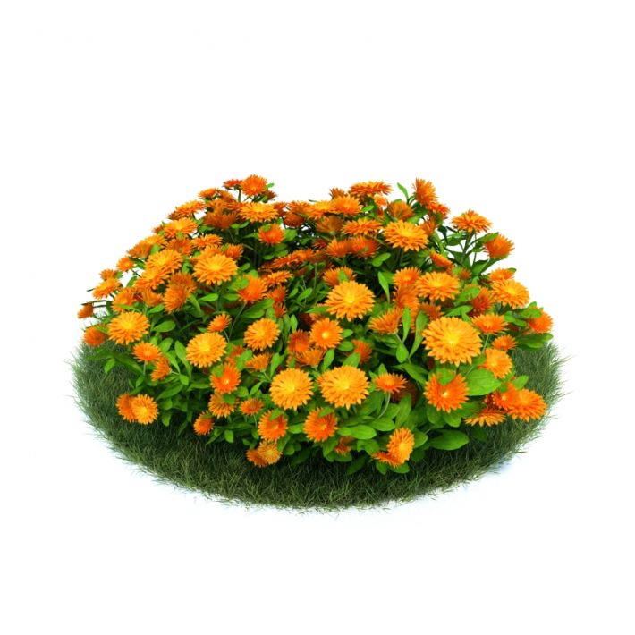 Calendula officinalis 11 AM86 Archmodels