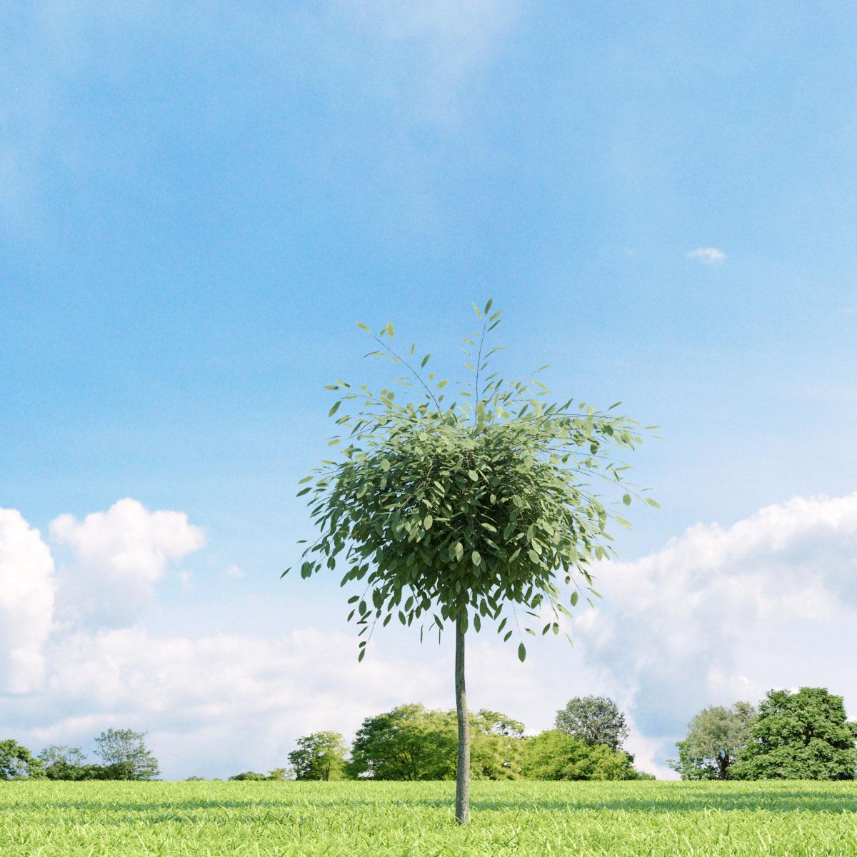 Salix repens var. argentea 23 v1 AM136 Archmodels