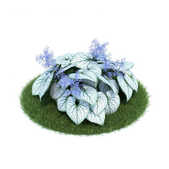 Brunnera macrophylla 'Jack Frost' 10 AM86 Archmodels