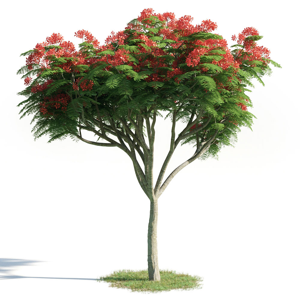 Delonix regia 20 AM154 Archmodels