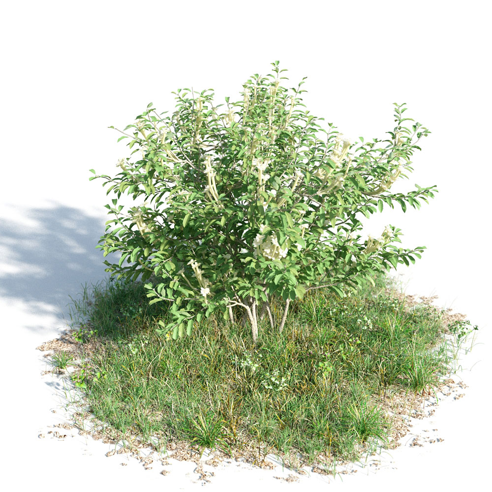 Brunfelsia americana 8 AM154 Archmodels