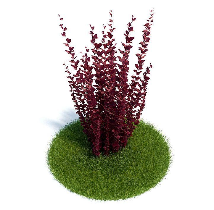 Berberis thunbergii Plant 58 AM61