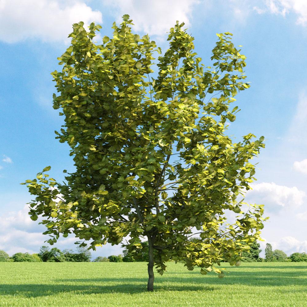 Quercus robur 'Concordia' 033_v2 AM136