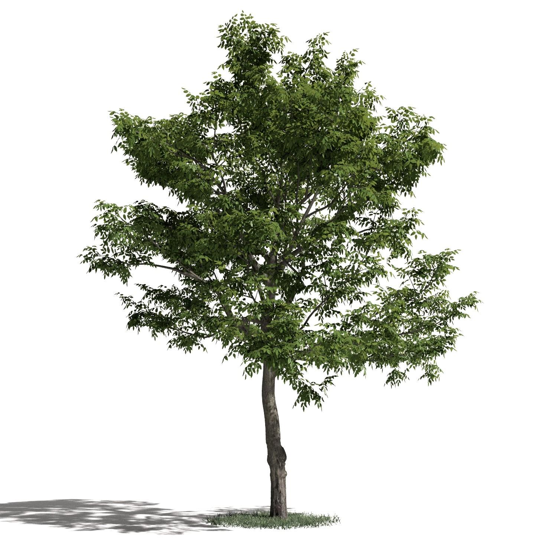 Tree 50 AM1 for Blender Archmodels