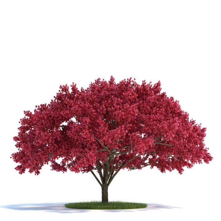 Cherry tree Plant 12 AM58 Archmodels
