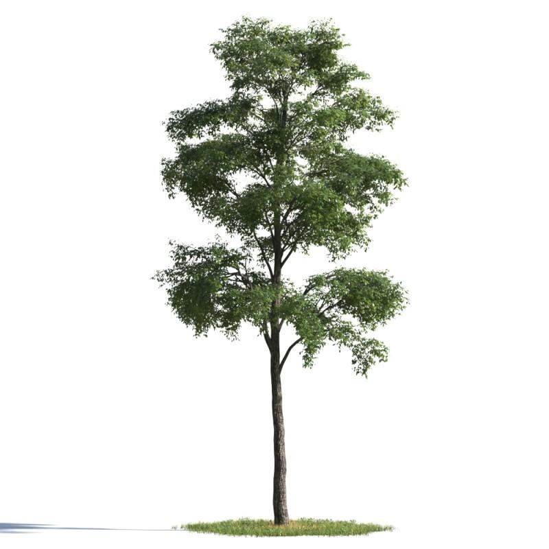 tree 13 AMC1