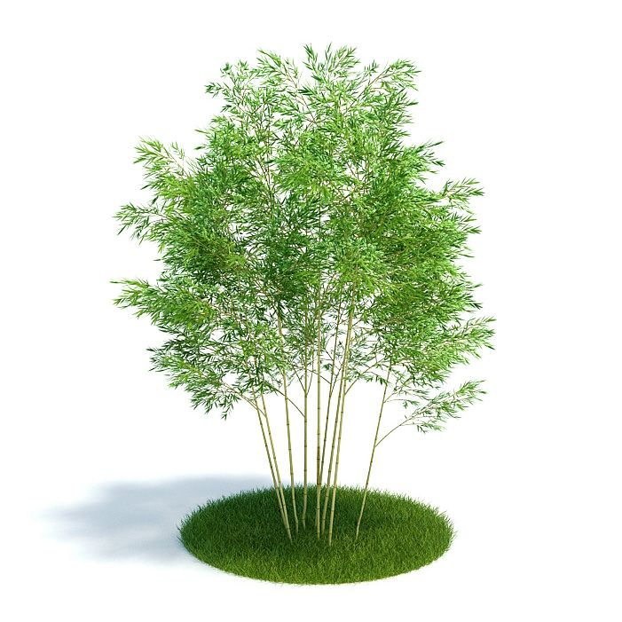 Phyllostachys aureosulcata Plant 21 AM61