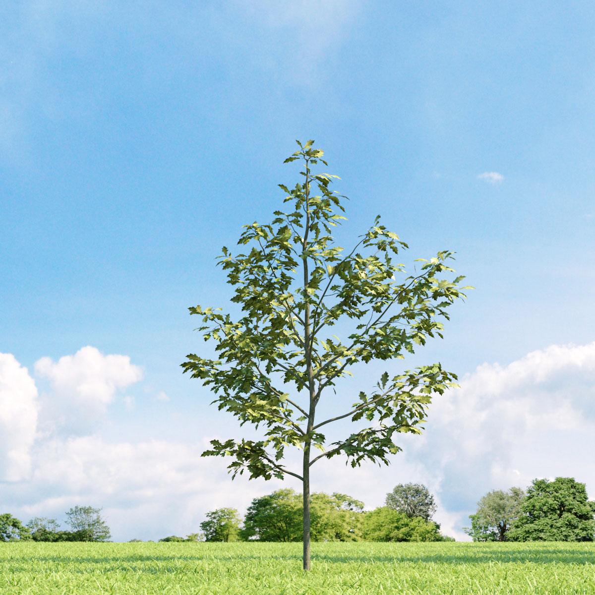Quercus shumardii 19 v1 AM136 Archmodels