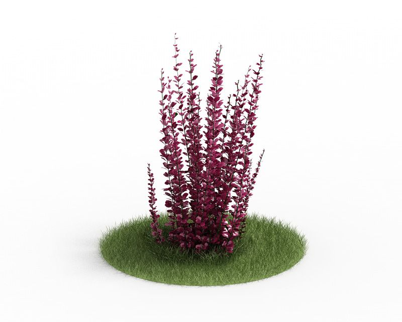 Berberis thunbergii 58 AM3 for Cinema4D Archmodels
