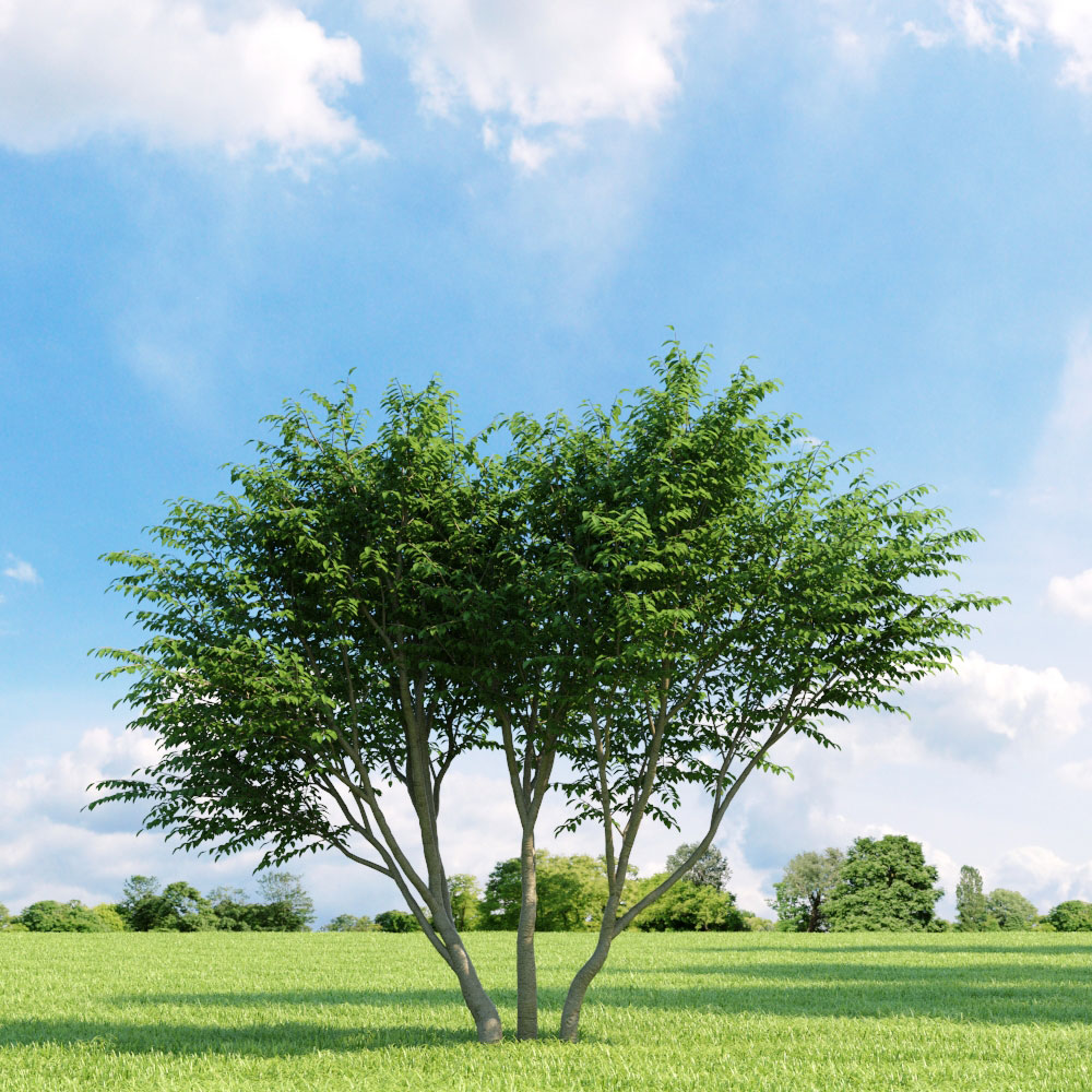 Caragana arborescens 009_v1 AM136