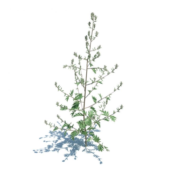 Artemisia Vulgaris 041 am124