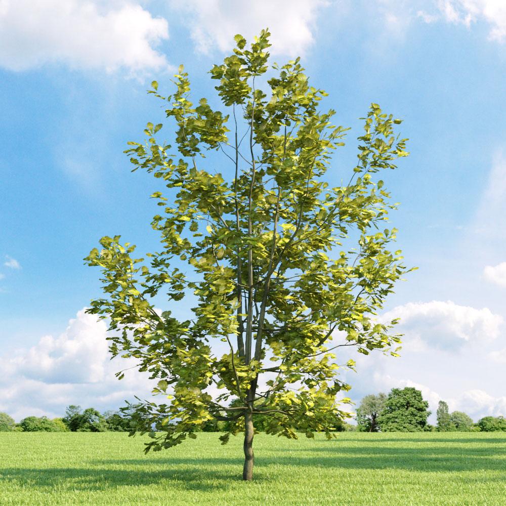 Quercus robur 'Concordia' 33 v3 AM136 Archmodels